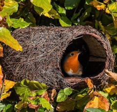 Simon King Brushwood Robin Nester