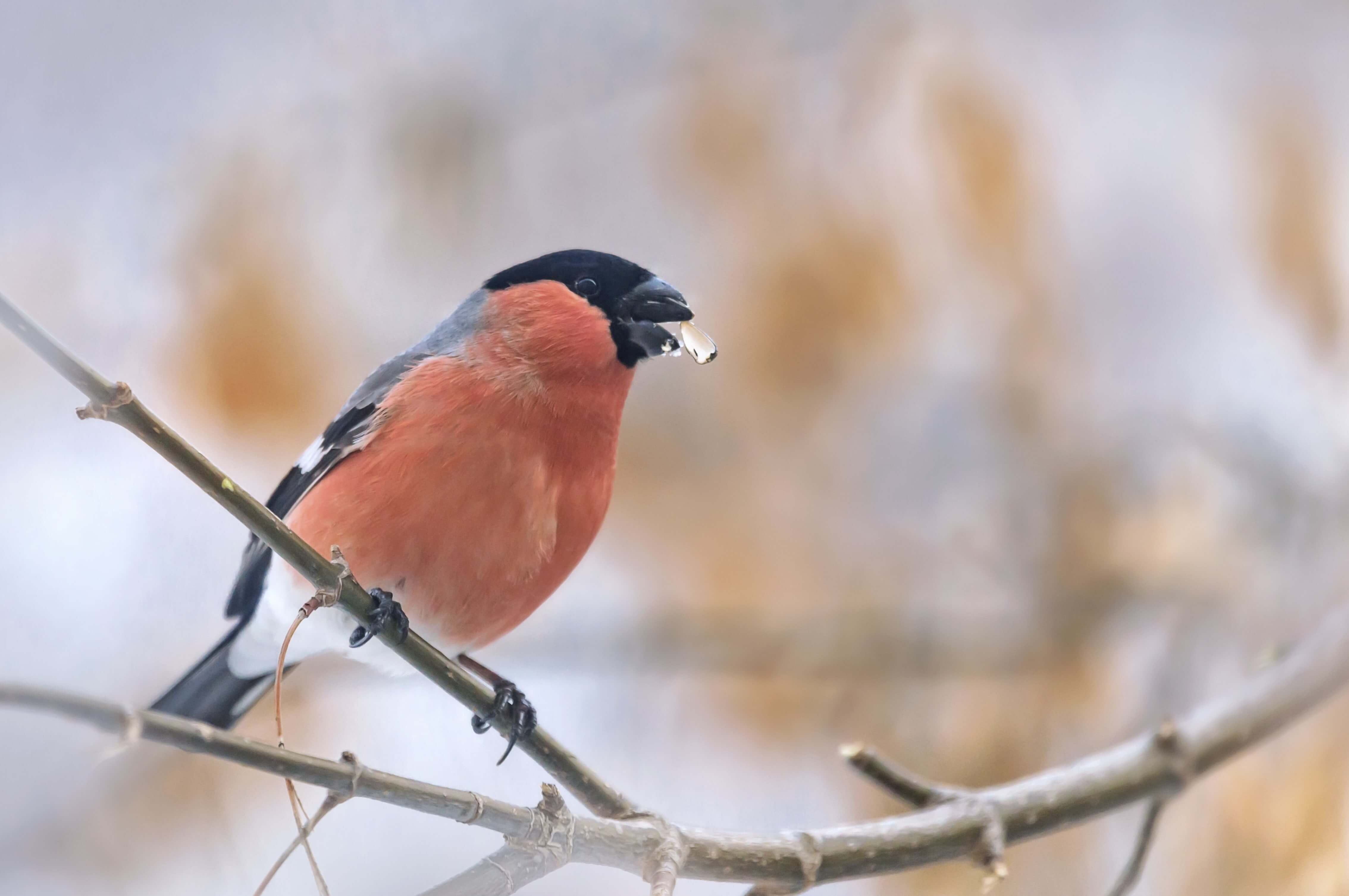 (Getty Images) Bullfinch with sunflower heart