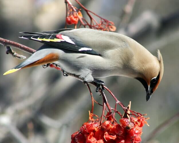 Waxwing on Firethorn