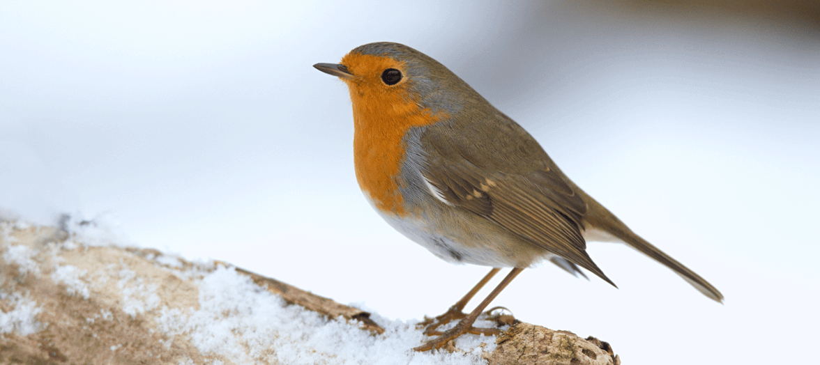 Robin in the snow banner for Seed Mixes